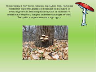 Многие грибы в лесу тесно связаны с деревьями. Нити грибницы срастаются с кор