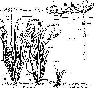 Описание: Гидрофилия у валлисиерии: слева — женское (а) и мужское (б) растения; справа — опыление, происходящее на поверхности воды (1 — женский цветок, 2 — мужской цветок: а — нераскрывшийся, б — раскрывшийся).