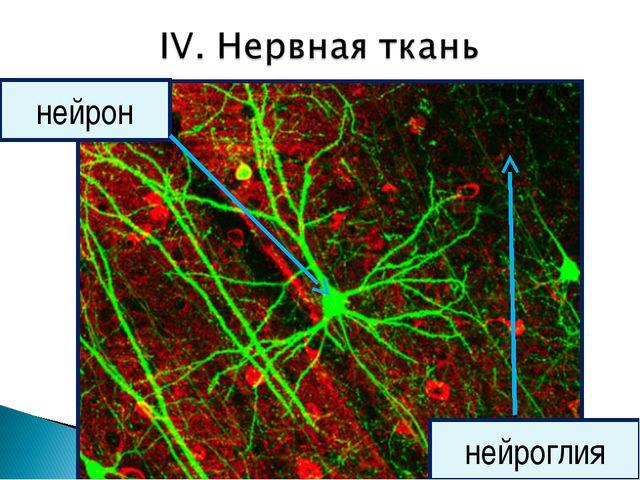 нейроглия нейрон
