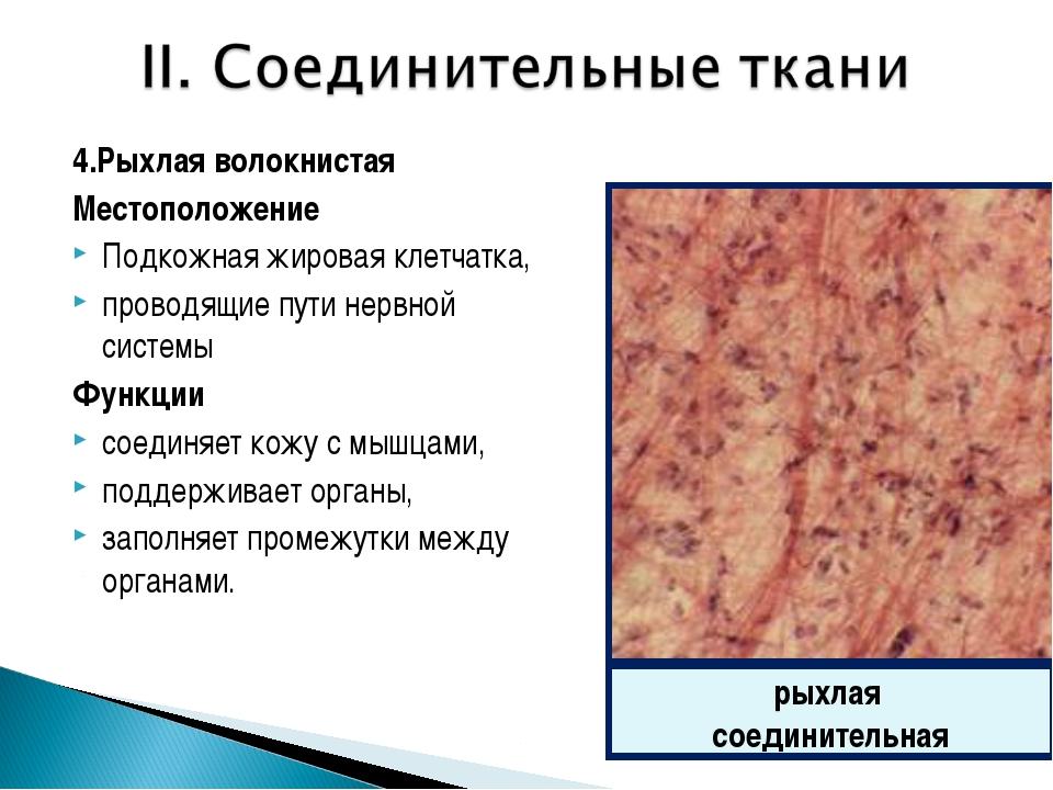 4.Рыхлая волокнистая Местоположение Подкожная жировая клетчатка, проводящие п...