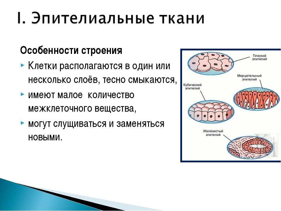 Особенности строения Клетки располагаются в один или несколько слоёв, тесно с...