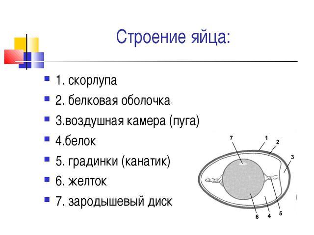 Строение яйца: 1. скорлупа 2. белковая оболочка 3.воздушная камера (пуга) 4.б...