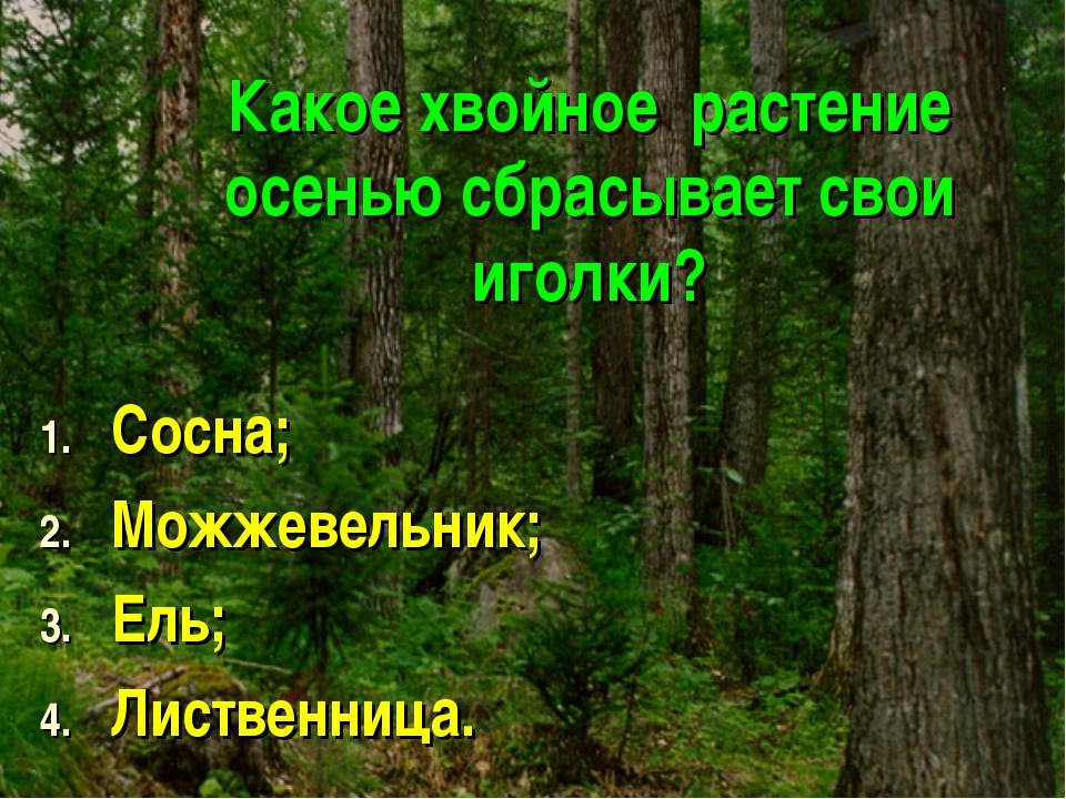 Какое хвойное растение осенью сбрасывает свои иголки? Сосна; Можжевельник; Ел...