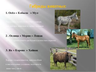 Гибриды животных: 1. Осёл + Кобыла = Мул Выносливее и работоспособнее лошади,