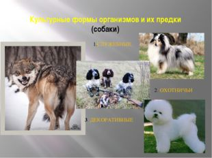 Культурные формы организмов и их предки (собаки) 1.СЛУЖЕБНЫЕ 2. ОХОТНИЧЬИ 3.