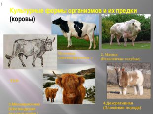 Культурные формы организмов и их предки (коровы) ТУР 1. Молочная (Голштинофри