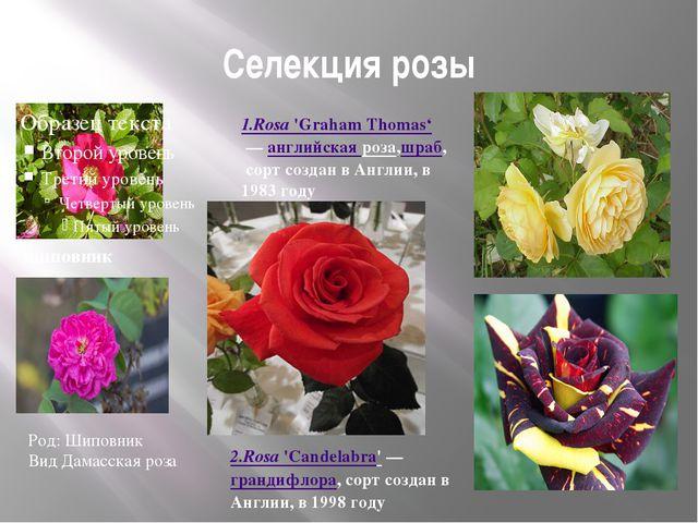 Селекция розы шиповник 1.Rosa'Graham Thomas' —английская роза,шраб, сорт с...