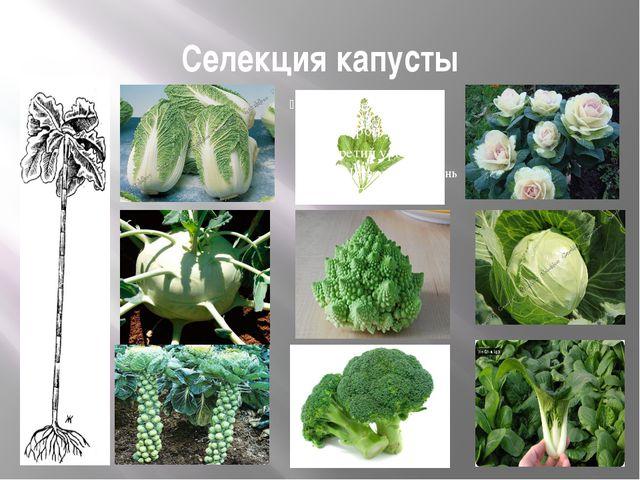 Селекция капусты