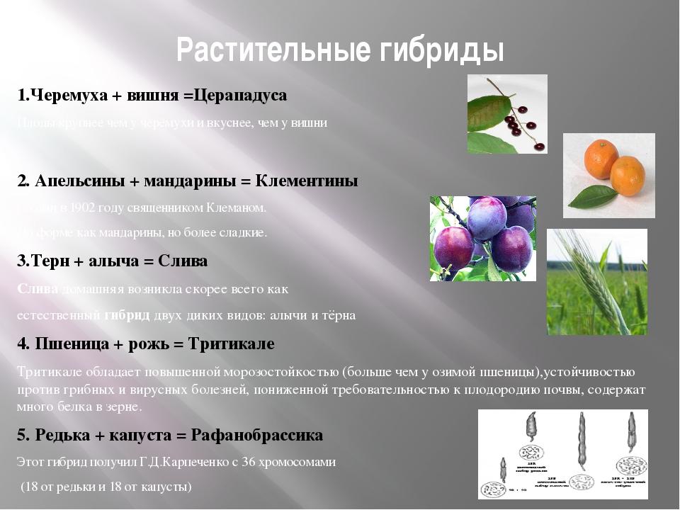 Растительные гибриды 1.Черемуха + вишня =Церападуса Плоды крупнее чем у черём...
