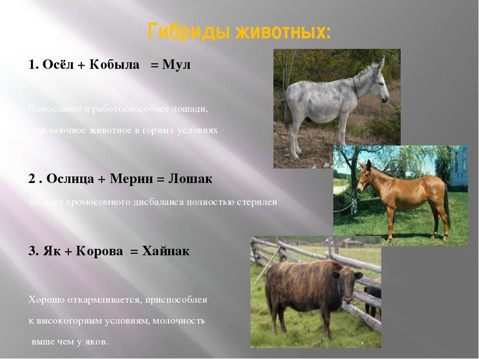 Гибриды животных: 1. Осёл + Кобыла = Мул Выносливее и работоспособнее лошади,...