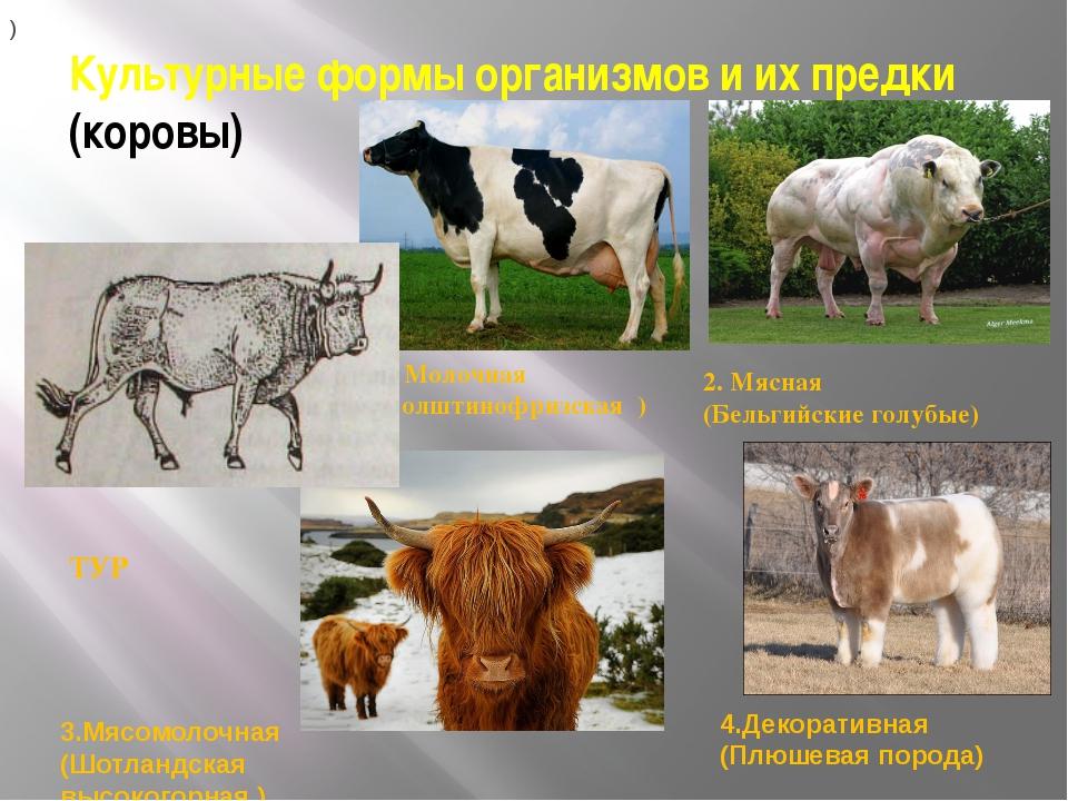 Культурные формы организмов и их предки (коровы) ТУР 1. Молочная (Голштинофри...