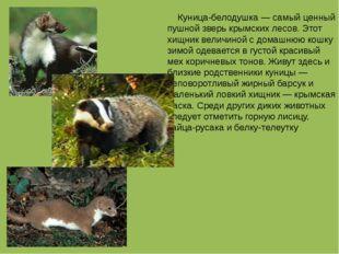 Куница-белодушка — самый ценный пушной зверь крымских лесов. Этот хищник вел