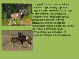 Горный баран — европейски муфлон — уроженец Корсики. Сюда в Крым завезен в 1