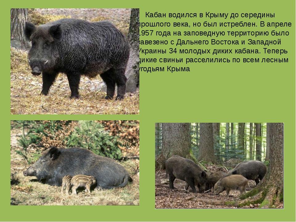 Кабан водился в Крыму до середины прошлого века, но был истреблен. В апреле...