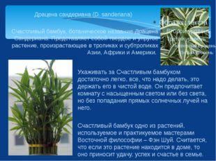 Драцена сандериана (D. sanderiana) Счастливый бамбук, ботаническое название Д