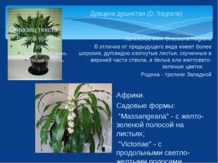 Драцена душистая (D. fragrans) Латинское имя: Dracaena fragrans В отличие от