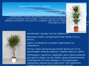 Драцена маргината (D. marginata Латинское имя: Dracaena marginata Драцена ока