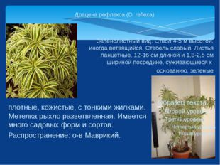 Драцена рефлекса (D. reflexa) Зеленолистный вид. Ствол 4-5 м высотой, иногда