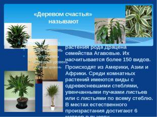 «Деревом счастья» называют растения рода Драцена семейства Агавовые. Их насчи