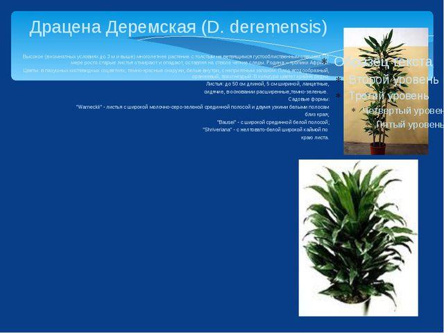 Драцена Деремская (D. deremensis) Высокое (в комнатных условиях до 3 м и выш...