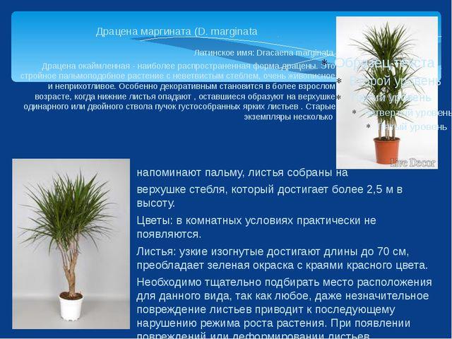 Драцена маргината (D. marginata Латинское имя: Dracaena marginata Драцена ока...