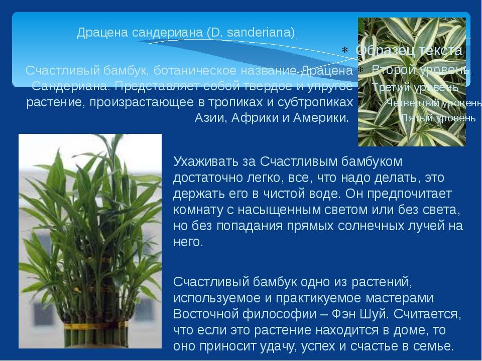 Драцена сандериана (D. sanderiana) Счастливый бамбук, ботаническое название Д...
