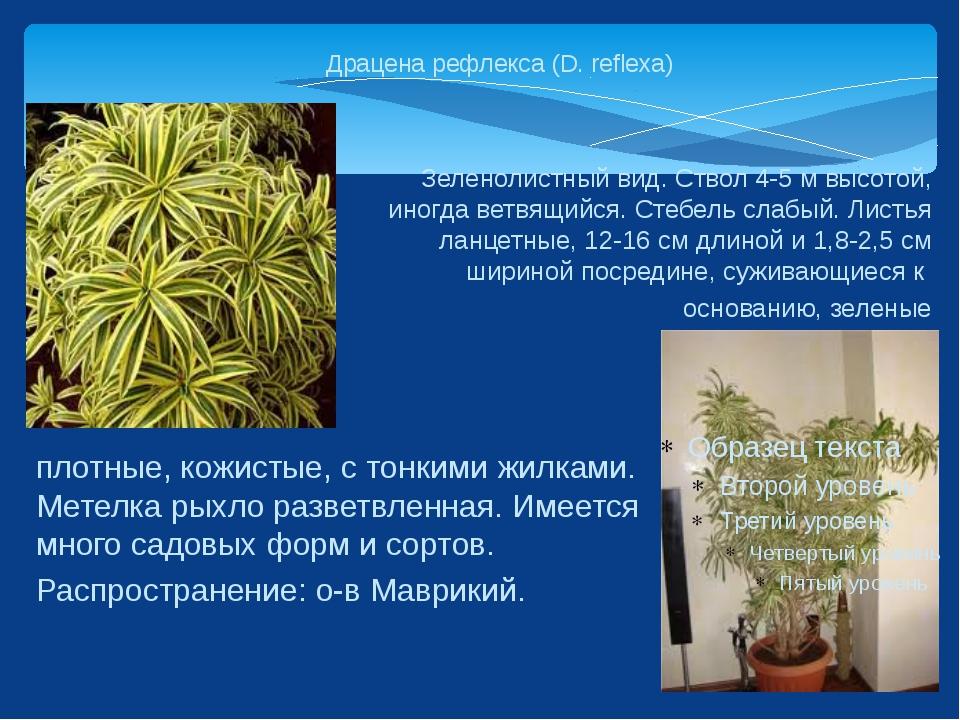 Драцена рефлекса (D. reflexa) Зеленолистный вид. Ствол 4-5 м высотой, иногда...