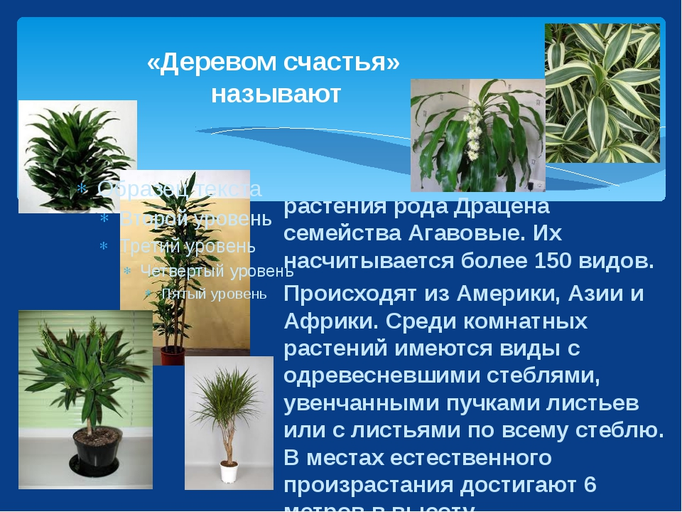 «Деревом счастья» называют растения рода Драцена семейства Агавовые. Их насчи...