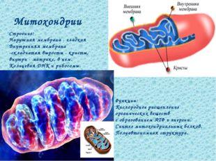 Митохондрии Функции: Кислородное расщепление органических веществ с образован