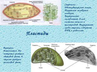 Пластиды Строение: Двояковыпуклая линза. Наружная мембрана-гладкая, Внутрення