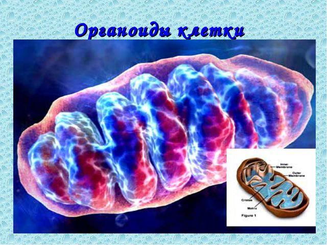 Органоиды клетки