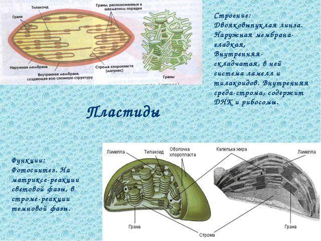 Пластиды Строение: Двояковыпуклая линза. Наружная мембрана-гладкая, Внутрення...