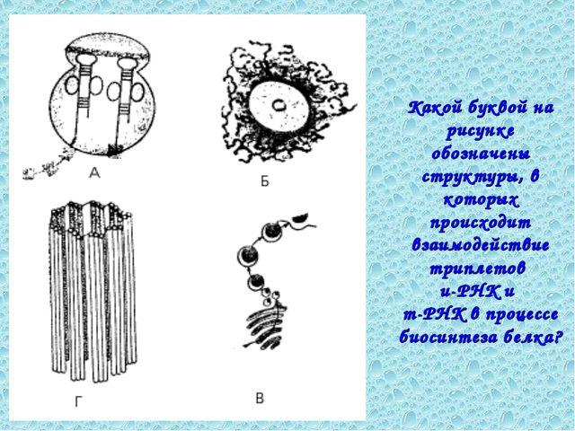 Какой буквой на рисунке обозначены структуры, в которых происходит взаимодейс...