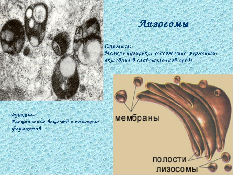 Лизосомы Функции: Расщепление веществ с помощью ферментов. Строение: Мелкие п...