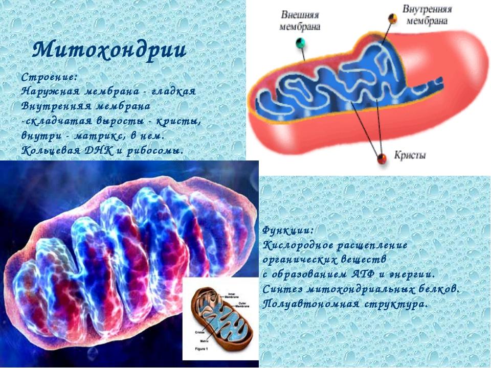 Митохондрии Функции: Кислородное расщепление органических веществ с образован...