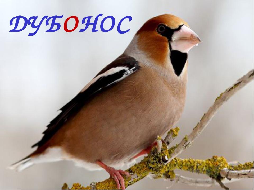 ДУБОНОС