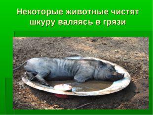 Некоторые животные чистят шкуру валяясь в грязи