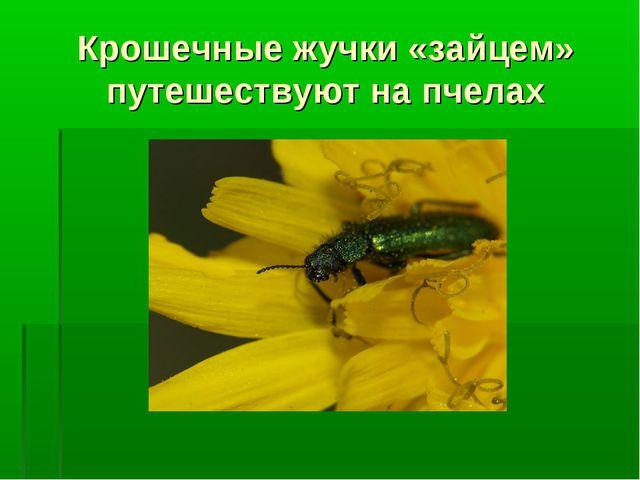 Крошечные жучки «зайцем» путешествуют на пчелах