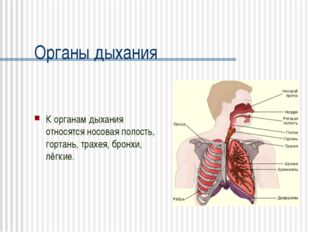Органы дыхания К органам дыхания относятся носовая полость, гортань, трахея,