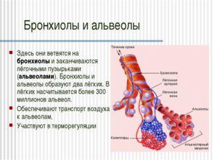 Бронхиолы и альвеолы Здесь они ветвятся на бронхиолы и заканчиваются лёгочным