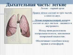 Дыхательная часть: легкие Легкие – парный орган Правое лёгкое состоит из трёх