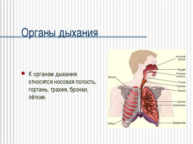 Органы дыхания К органам дыхания относятся носовая полость, гортань, трахея,...