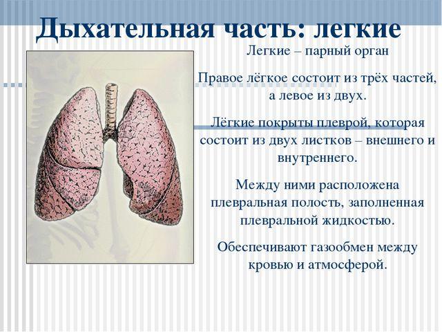Дыхательная часть: легкие Легкие – парный орган Правое лёгкое состоит из трёх...