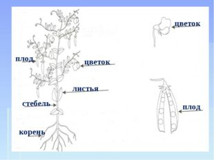плод стебель корень цветок листья цветок плод