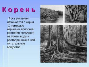 К о р е н ь Рост растения начинается с корня. С помощью корневых волосков ра