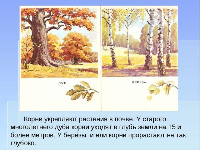 Корни укрепляют растения в почве. У старого многолетнего дуба корни уходят в...