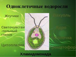 Одноклеточные водоросли Вакуоль Ядро Оболочка Хроматофор Цитоплазма Жгутики С