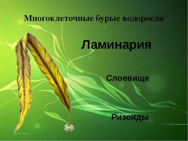 Многоклеточные бурые водоросли Ламинария Ризоиды Слоевище
