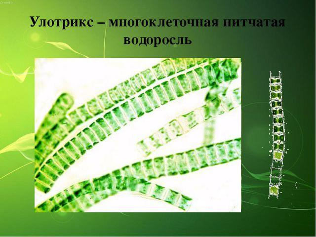 Улотрикс – многоклеточная нитчатая водоросль