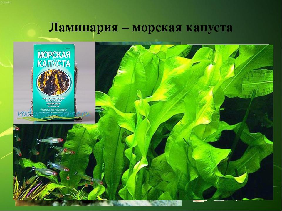 Ламинария – морская капуста